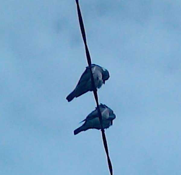 Irish doves
